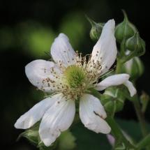 Einzelne Brombeerblüte