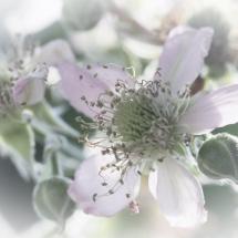 Brombeerblüte in High Key