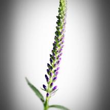 Lange Blüte weis mit Vignette