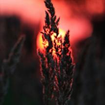 Gras-Ähre im Gegenlicht