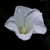 Zaunwinde Calystegia sepium