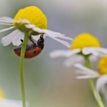 Marienkäfer unter Kamillenblüte