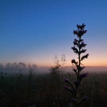 Natterkopf vor Sonnenaufgang