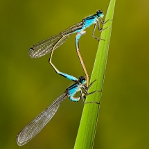 Libellenpaar_(2048)_3054